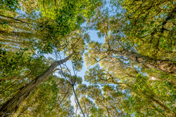 looking up at tree canopy in mount peel
