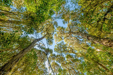 looking up at tree canopy in mount peel.