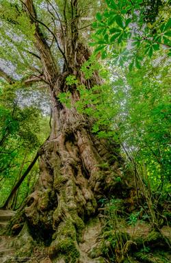 1100 year old tree, a short walk