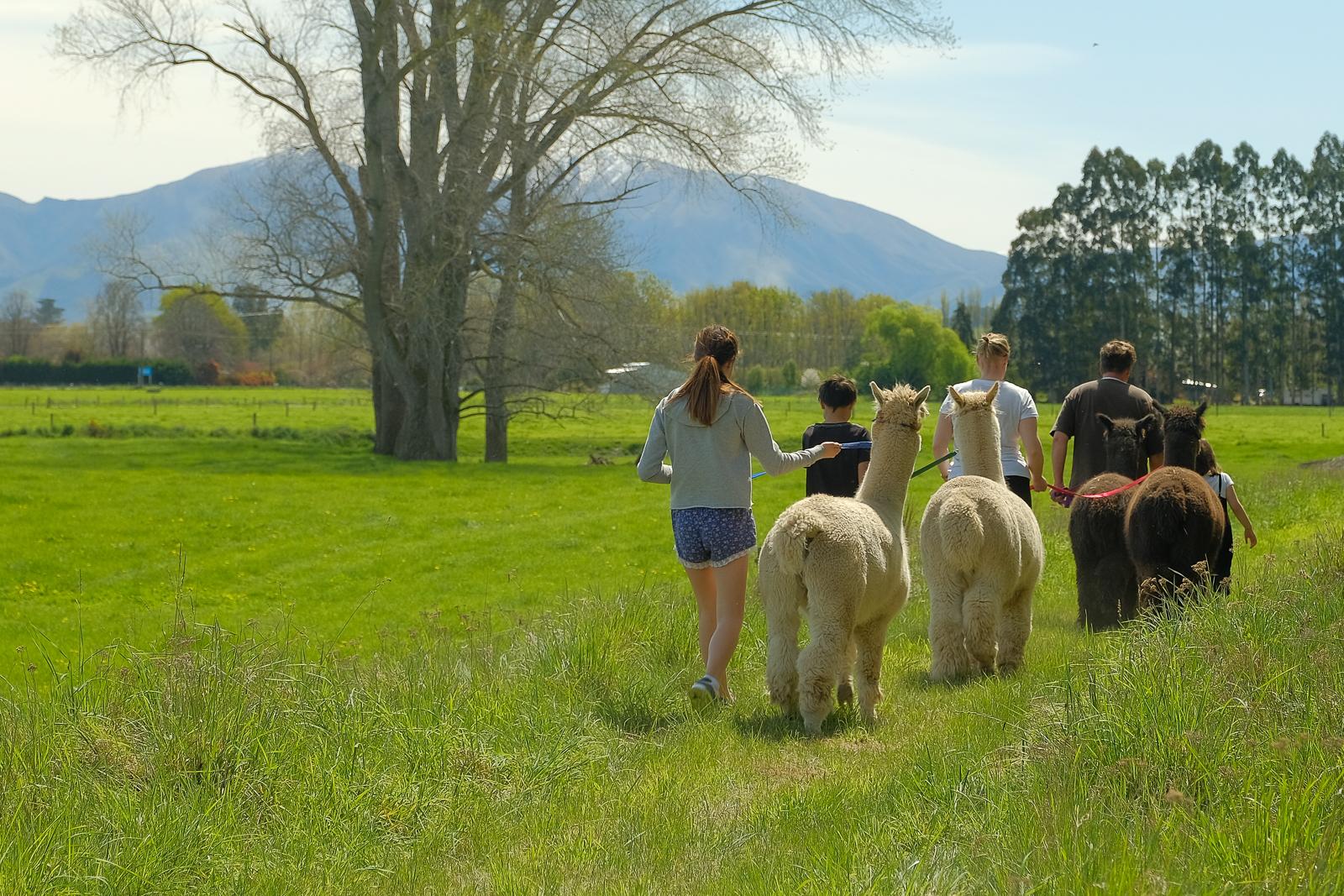 alpaca walk