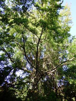 The big red beech tree