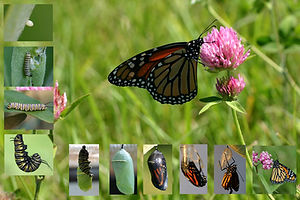 monarch life cycle 3.jpg