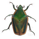green june beetle.jpg