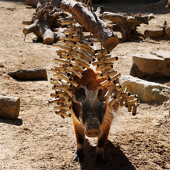 Red-river-hog-plays-in-enrichment-CB.jpg