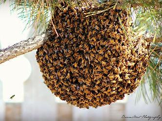 bee swarm.jpg