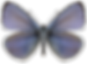 Holly_Blue_Butterfly_collection_page_ima