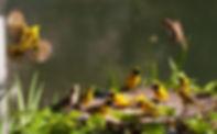 weaver-birds-seed-eaters-life-green-grou