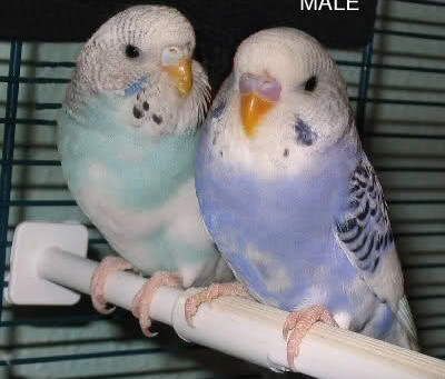 Female Budgies and Male Budgies