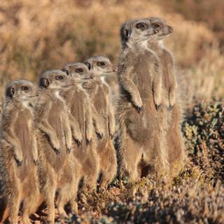 76. Meerkat Adventures