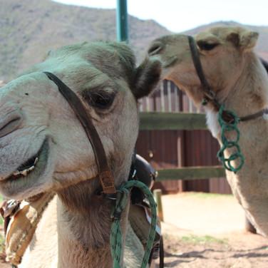 74.Camel Riding at Wilgewandel