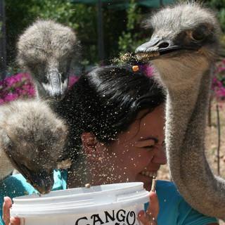 83. Cango Ostrich Farm