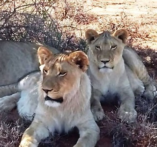 80. Buffelsdrift Game Lodge - Lion Feeding Experience