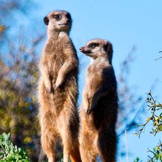 77. Buffelsdrift Game Lodge - Meerkat Safari