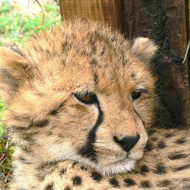 87. Cango Wildlife Ranch - Cheetah Encounter