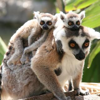 85. Cango Wildlife - Lemur Falls