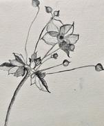 Hellebore pencil sketch