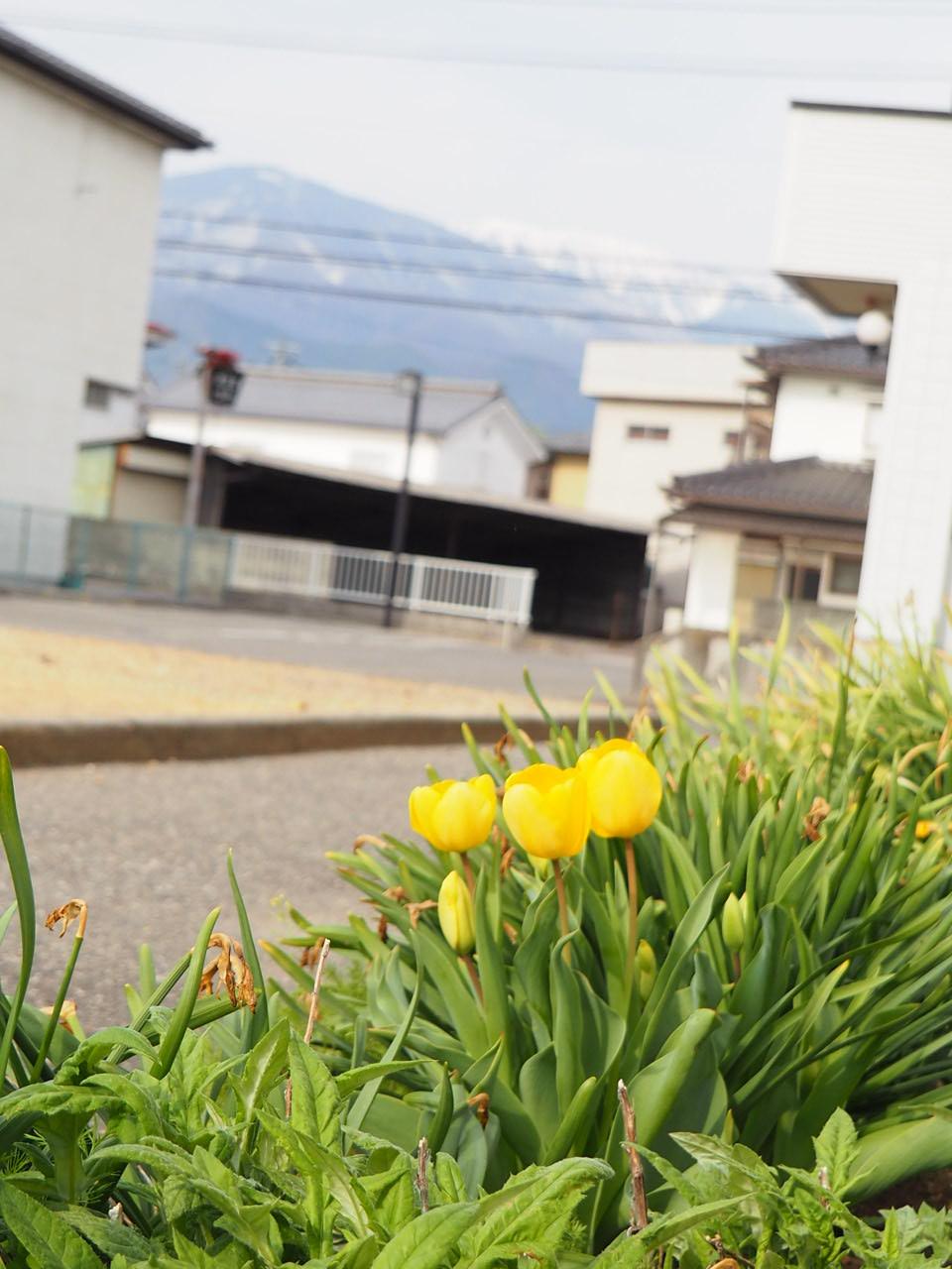 今日はチューリップが咲いていました。
