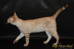 питомник бенгальских кошек москва
