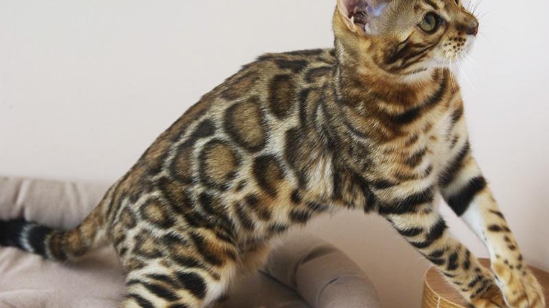 купить бенгальского котенка