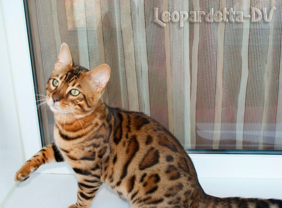 бенгальский котенок купить