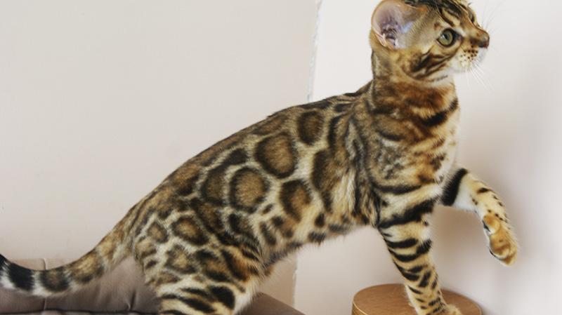 Бенгальские котята купить