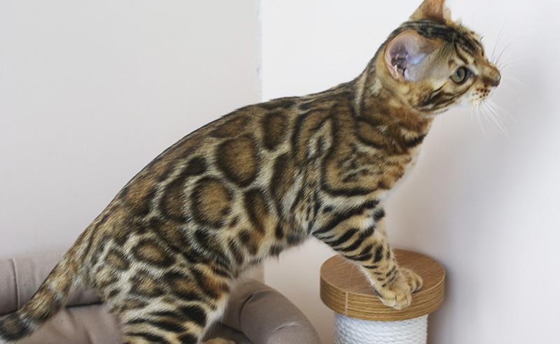 питомник бенгальских кошек