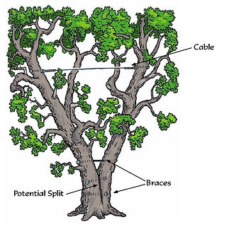 tree-cabling-bracing-splits.jpg