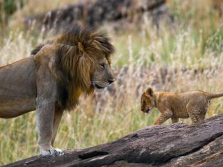 The Real Story Behind the Lion Kings of Africa
