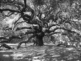 angel-oak-tree-black-and-white-melanie-s
