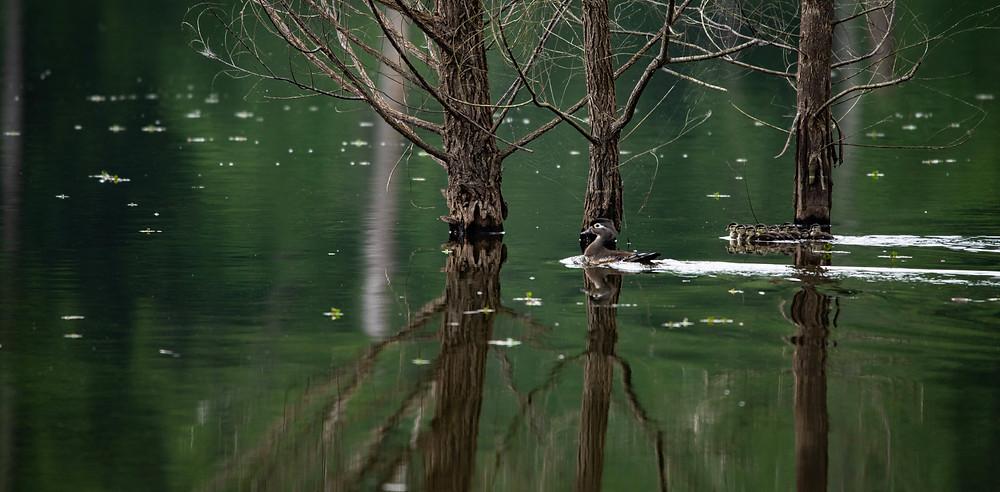 wood duck brood