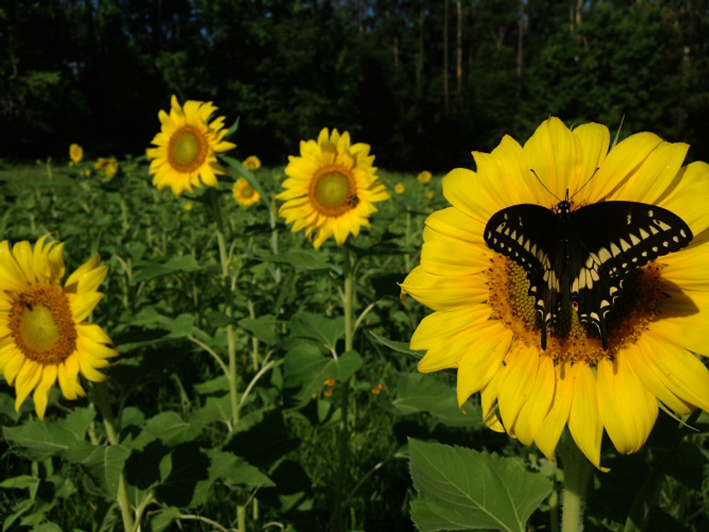 butterfly_sunflower