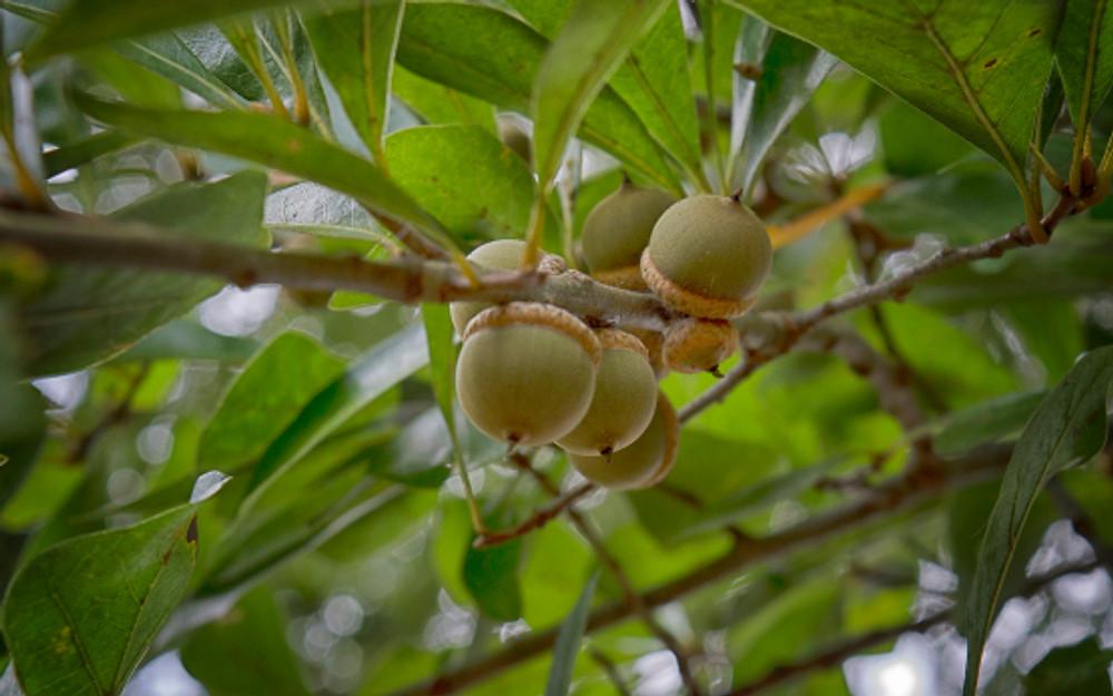 water oak acorns on branch