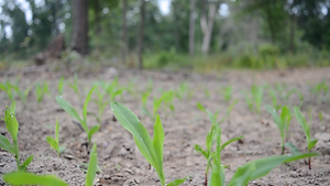 corn plants emerging_spring revival scre