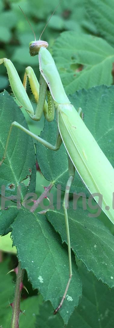 Mantis Meditation