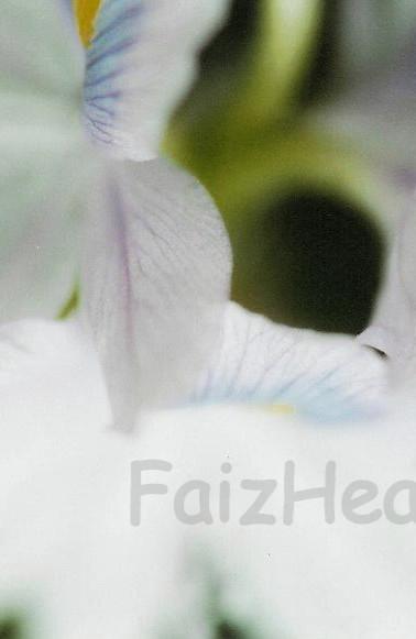 Hyacinth Spiral