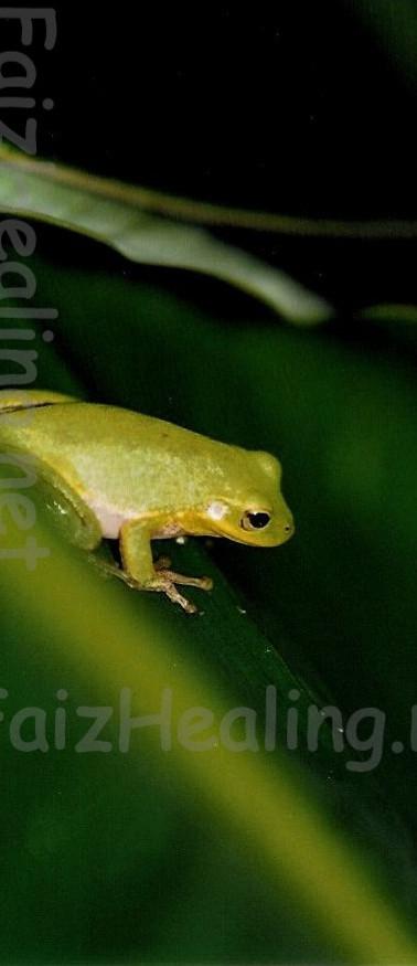 Frog Reverie