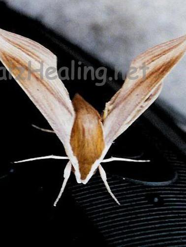 Bat Moth