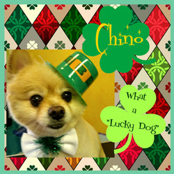 Chino Lucky Dog