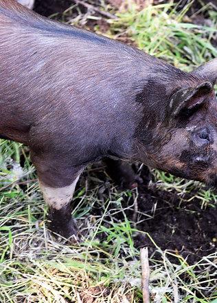Livestock Share Deposit (Beef Steer, Pig, Chicken)
