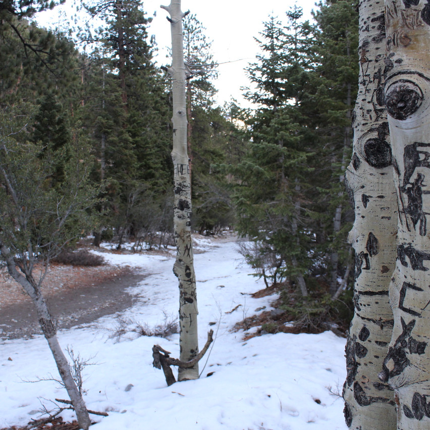 Despite the fact that you should never deface nature many choose to carve into these soft trees which makes for some interesting photos.
