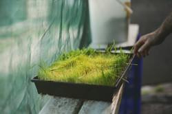 Wheatgrass Production