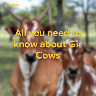 All you need to know about Gir Cows