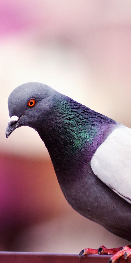 pigeonPlymouth Pest control
