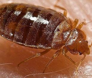 Bedbug control plymouth