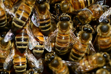 plymouth bee control pest