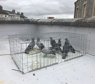 plymouth pest control pigeon control