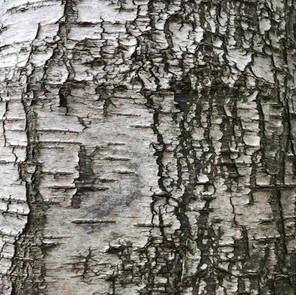Beauty of the birch