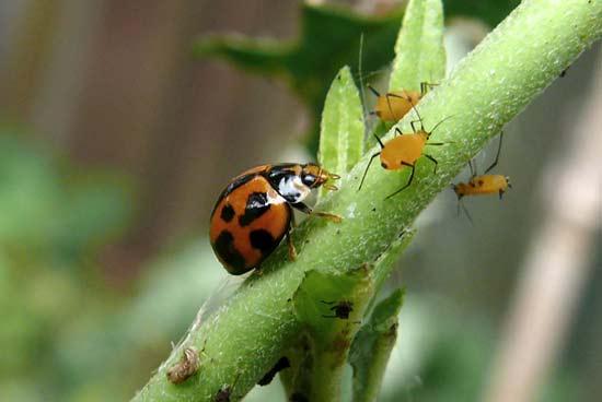 variable-ladybird-550