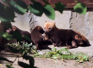 В Московском зоопарке родились кустарниковые собаки