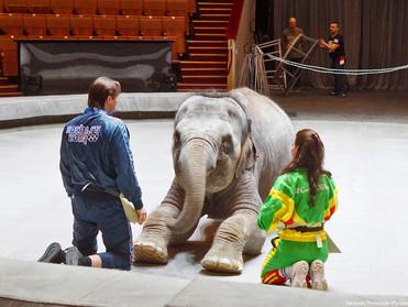 Цирковой слонихе Николь исполнилось 4 года